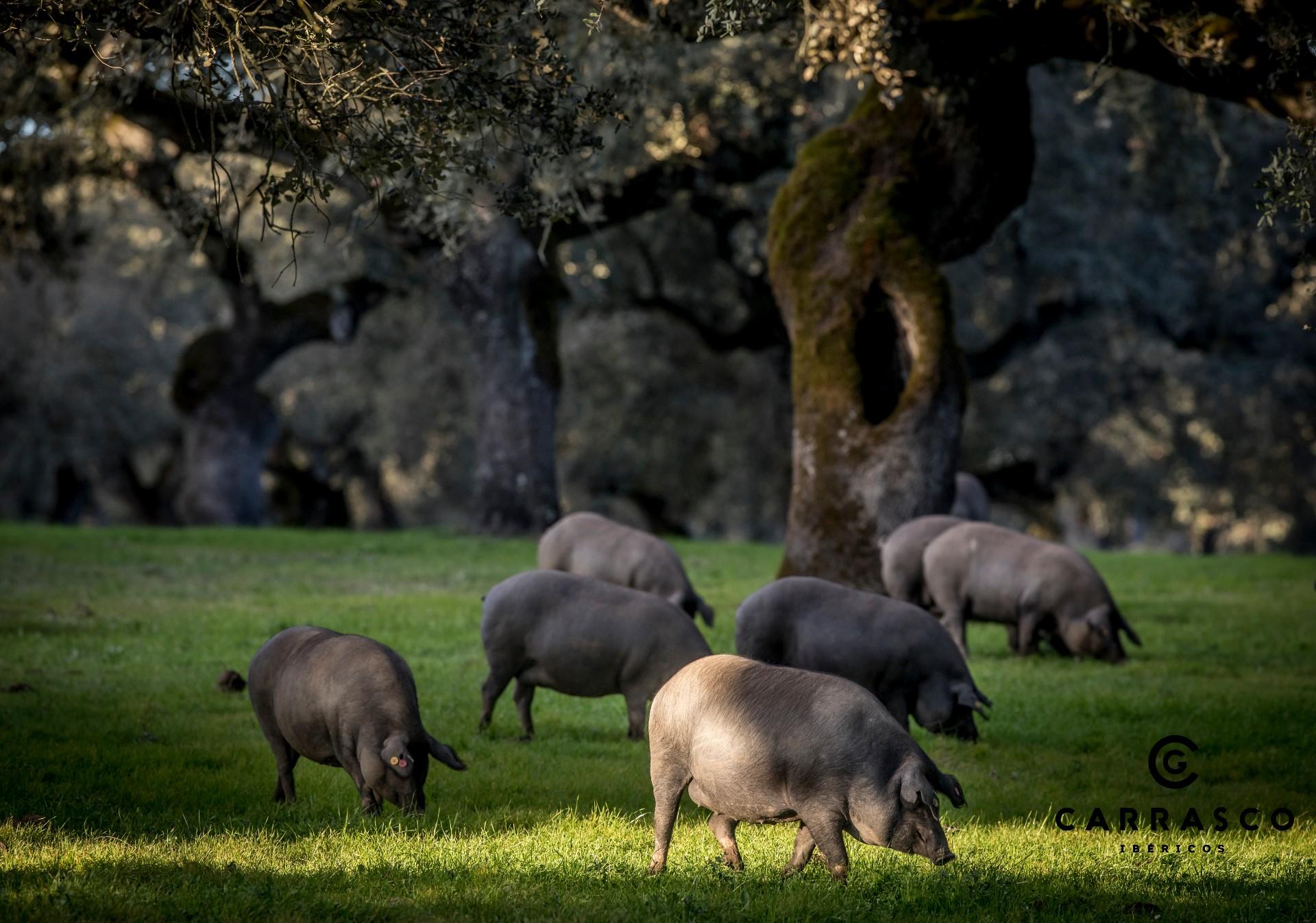 La montanera de los cerdos ibéricos